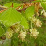 Beech – remedy of the month